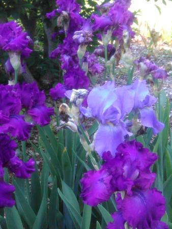 Adventure Inn Bed and Breakfast: Iris from the gardens