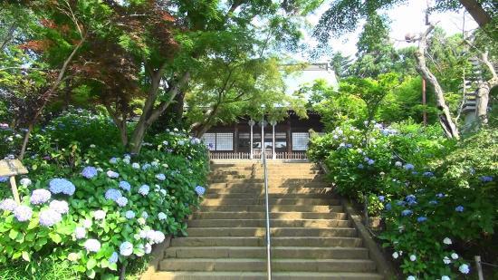 Hondo-ji Temple : 本堂と紫陽花