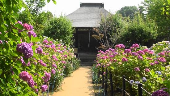 Hondo-ji Temple : 妙朗堂と紫陽花