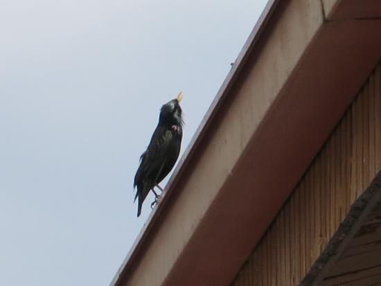 Sungurlu, ตุรกี: 屋根の小鳥