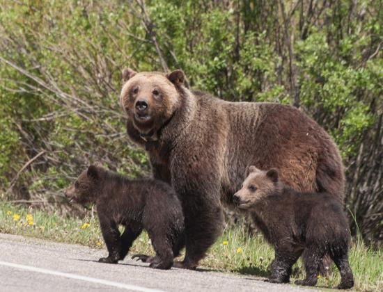 Jackson Hole, WY: Grizzly sow and her cubs