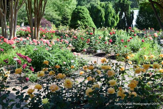 Lovely roses! Lots of varieties. - Picture of Brookside Gardens ...