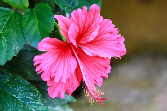 Zion Country Beach Cabins: Hibiscus in bloom in Zion Country