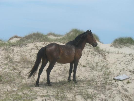 Bobs Wild Horse Tours: Wild Stallion on Wild Horse Tours