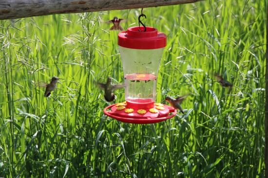 HF Bar Ranch: Hummingbirds are EVERYWHERE