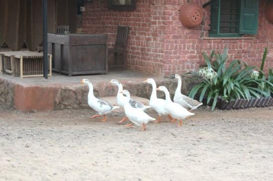 Uddar, India: Ducklings
