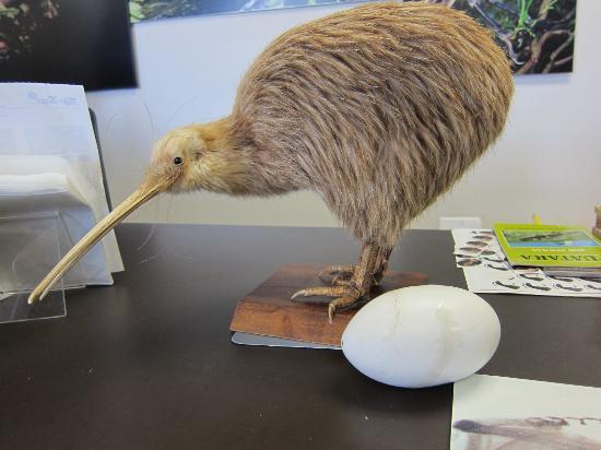 Whangarei, Nya Zeeland: Киви, к сожалению, чучело