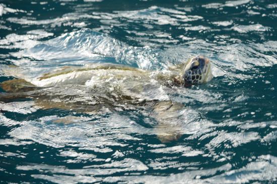 Na Pali Makai : Sea Turtle near Na Pali
