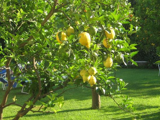 Hotel Eliseo Park's: citrons à portée de main