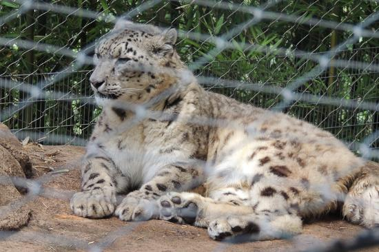 Mill Mountain Zoo : Snow leopard