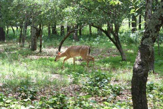 Big Meadows Campground: Deer at site #27