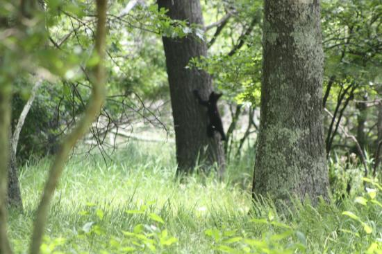 Big Meadows Campground: bear cub in tree - from site #27