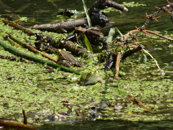 Kutina, Kroatien: frogs!