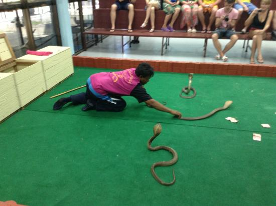 Kissing a king cobra - Picture of Ao Nang Snake Show, Ao Nang - TripAdvisor