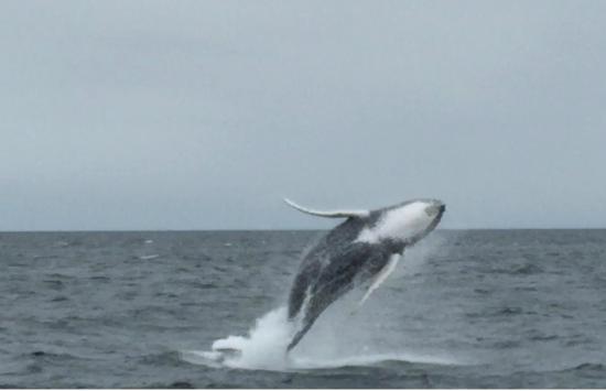 New England Aquarium Whale Watch: Baby humpback flying!