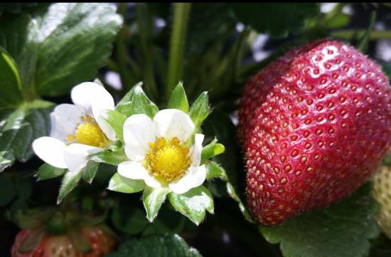 U-Pick Carlsbad Strawberry Company