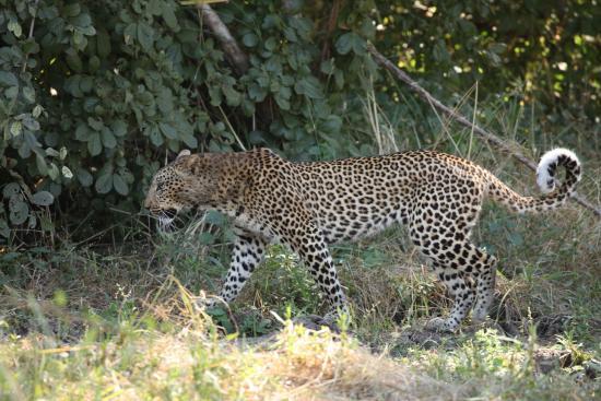 Sanctuary Puku Ridge Camp: Leopard sighting during game drive