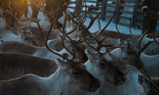 Utsjoki, Finland: Reindeers
