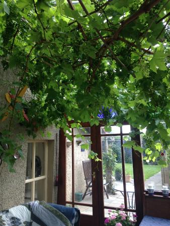 Крамлин, UK: Vines in the breakfast conservatory. Fabulous!