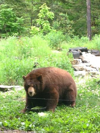 Ely, MN: Bear feeding from the viewing center on the ground floor