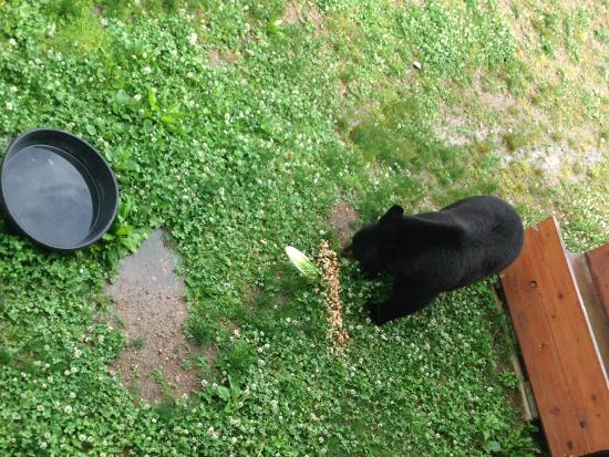 Ely, MN: Bear at feeding time from the balcony