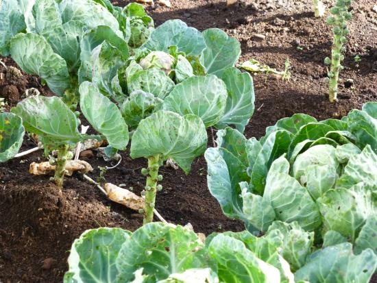Red Hill Nature Resort: brussel sprouts growing in the kitchen garden