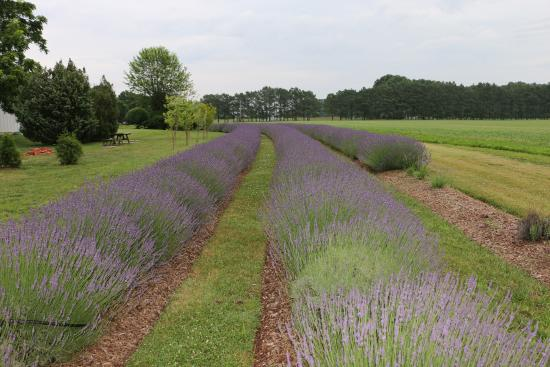 Inn at Huntingfield Creek: Lavender beds outside our Lavendar Cottage