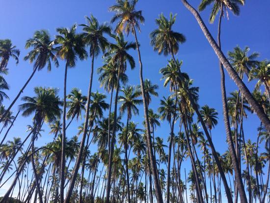 Kapuaiwa Coconut Grove / Kiowea Park-bild
