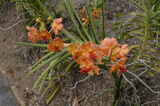 Orchid es foto di jardin botanique de deshaies deshaies - Jardin botanique guadeloupe basse terre ...