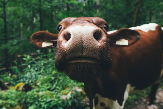 Nationalparkzentrum: Friendly cow