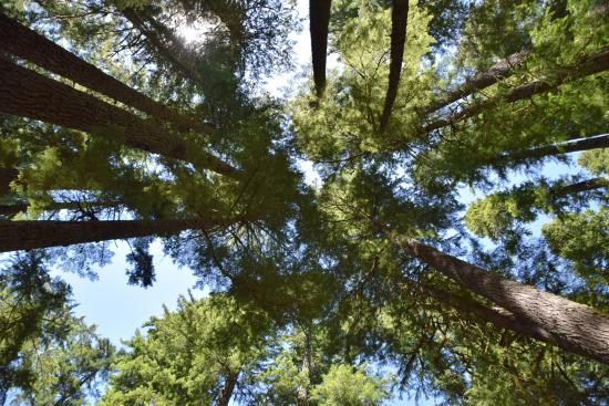 Ohanapecosh Campground: Tall tree canopy