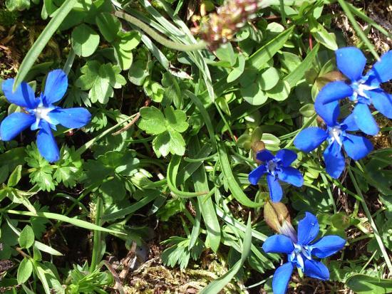 Grindelwald - Grosse Scheidegg - alpine flora is very beautiful