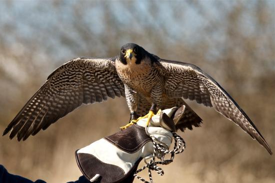 Senwick Falconry