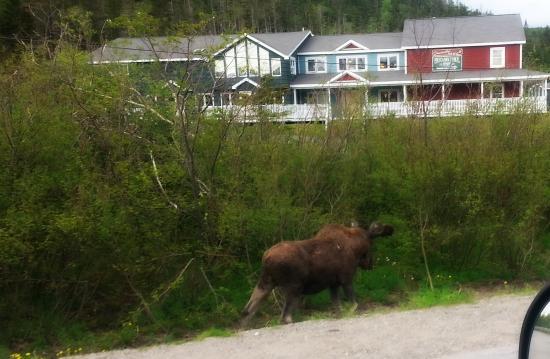 Moose at Sugar HIll Inn