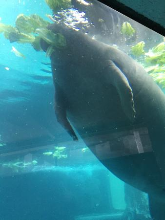 Manatee Eating Picture Of Mote Marine Laboratory And