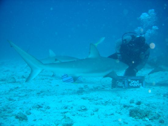Simpson Bay, St. Maarten-St. Martin: The lead diver wears chain mail and feeds the sharks fish on a metal rod.