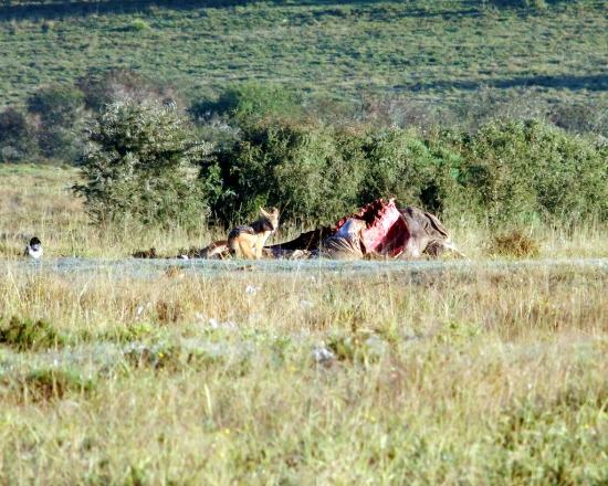 Addo, Afrika Selatan: Jackal looking for some leftovers after the Lion Killed the Eland.
