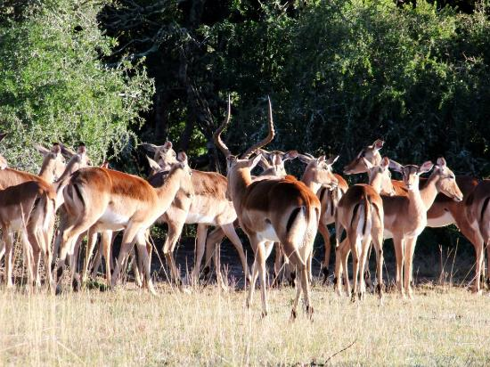 Addo Afrique Estate: Impala Ram looking after his girls.