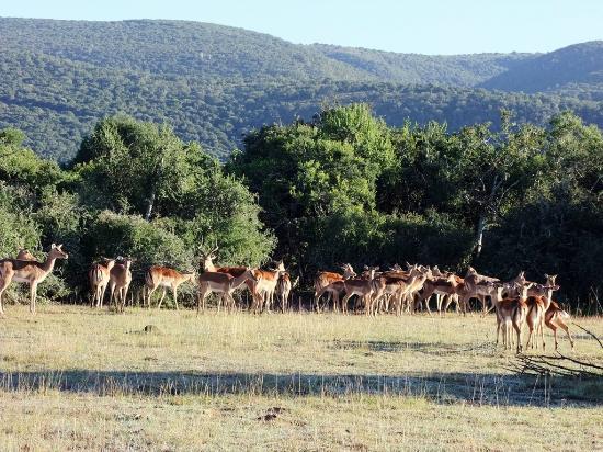 Addo Afrique Estate: Impala family group on Addo Afrique grounds if you want to do walking safari.