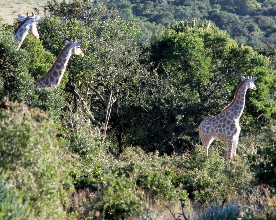 Addo Afrique Estate: Our Giraffe waiting on you to come for a walking safari with them at Addo Afrique