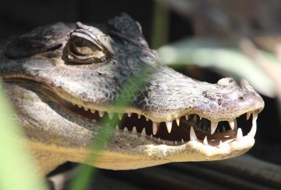 Sierpe, Costa Rica: caiman