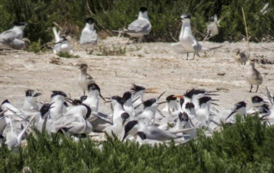 Valencia Birding Birdwatching Tours: Big group of terns.
