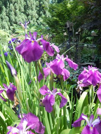 Smith Gilbert Gardens: Japanese Iris in the Rock Garden