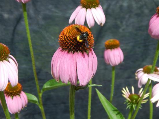 Smith Gilbert Gardens: Cone Flower