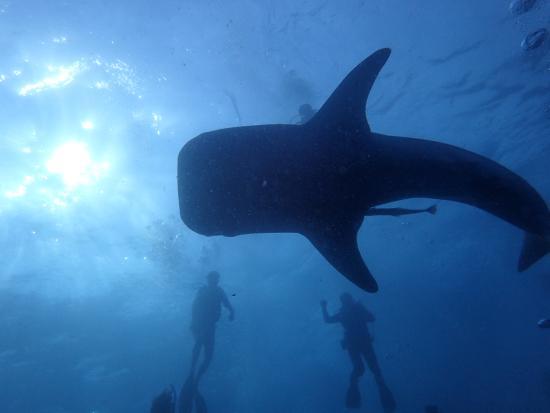 Ko Tao Diving Tour - Buddha View Dive Resort: ジンベイ!