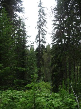 Latah Trail Bike Path: You can also see North Idaho white pine forest