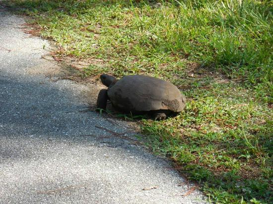 Gen. James A. Van Fleet State Trail: Saw 3 gopher turtles during our ride