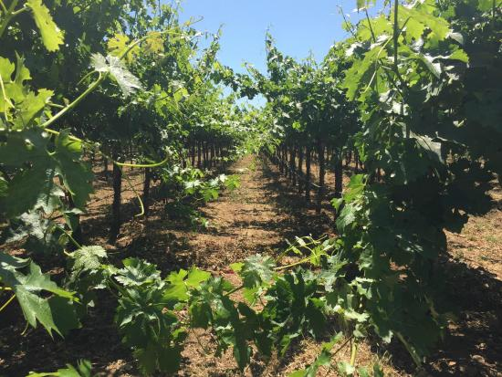 Hagafen Cellars : Summer Vineyard