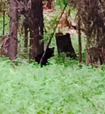 Fortine, MT: Young Black Bear