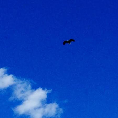 Fortine, MT: Bald Eagle